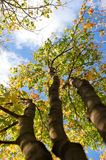 Three autumn trees Stock Photo