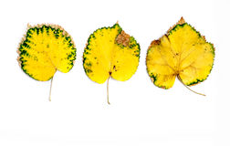 Three Autumn Yellow Leafs  on White Royalty Free Stock Image