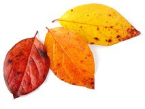 Three autumnal leaves Stock Photos