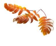 Three autumnal rowan leaves Royalty Free Stock Photo