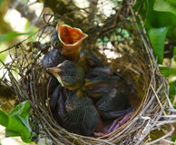 Three babies in the nest. stock images