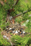 Three baby american robins in a nest. Royalty Free Stock Photo