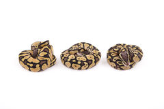 Three baby Ball or Royal Pythons, Firefly morph. In a row on white background Royalty Free Stock Images