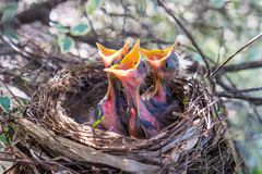 Free Three Baby Birds In A Nest With Beaks Wide Open Waiting To Be Fe Stock Photo - 99735760