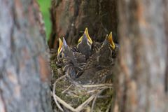 Three baby birds in nest. Hungry Chicks, baby birds with open beaks in the nest in forest close-up stock photography