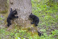 Free Three Baby Black Bear Cubs Playing With Each Other. Royalty Free Stock Photos - 151002408