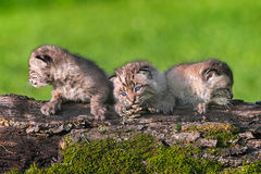 Three Baby Bobcats (Lynx rufus) Lined up on Log Stock Photos