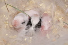 Three Baby Bunnies Stock Image