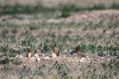 An adult Burrowing Owl and three babies stand outside their nest burrow in southern Colorado Royalty Free Stock Images