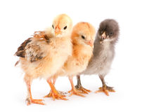 Three baby chicken. Baby chicken closeup isolated on white background Stock Image