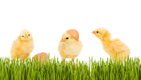Three baby chicken in the grass royalty free stock image