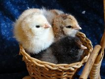 Baby chicks in basket stock images
