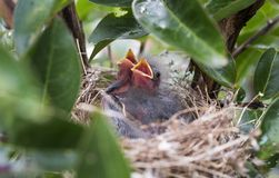 Baby birds in nest, Georgia USA stock images