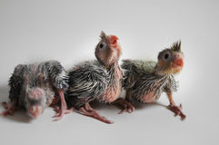 Three Baby Cockatiels. 16 days, 15 days and 13 day old baby cockatiels Royalty Free Stock Image