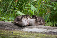 Three baby ducks sleeping. On the shore stock photos