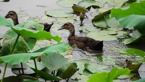 Three baby ducks stock video