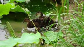 Three baby ducks stock footage