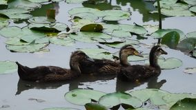 Three baby ducks. In the water stock video footage