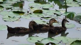 Three baby ducks stock video footage