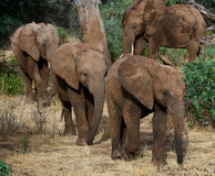 Three baby elephants are going to each other. Africa. Kenya. Tanzania. Serengeti. Maasai Mara. Royalty Free Stock Photos