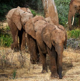 Three baby elephants are going to each other. Africa. Kenya. Tanzania. Serengeti. Maasai Mara. Royalty Free Stock Images