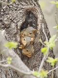 Three baby fox squirrels. Baby fox squirrels cuddle in the opening of their nest in a hollow tree royalty free stock photo