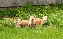 Three baby foxes Stock Photography