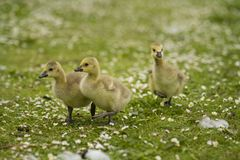 Three baby geese. Three cute yellow baby geese explore a field full of daisies on a spring afternoon stock photos