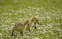 Three baby geese exploring Royalty Free Stock Photography