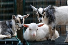 Three baby goats Royalty Free Stock Images