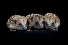Three baby hedgehogs Royalty Free Stock Image