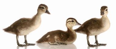 Three baby mallard ducks Royalty Free Stock Images