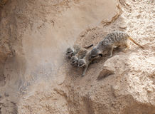 Three Baby Meerkat and mother Royalty Free Stock Photography