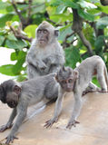 Three Baby Monkey Royalty Free Stock Photo