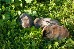 Three baby rabbits Stock Images