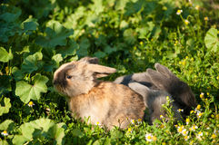 Three baby rabbits Royalty Free Stock Photo