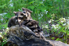 Three baby raccoons coming out of a hollow log. Three baby raccoons in a hollow log stock images