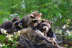 Three baby raccoons coming out of a hollow log. Royalty Free Stock Images