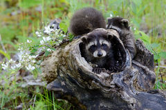 Three baby raccoons playing in a hollow stump. Royalty Free Stock Images