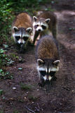 Three baby raccoons on trail. Stock Photo