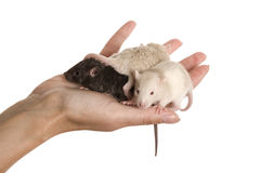 Three baby rats Stock Photos