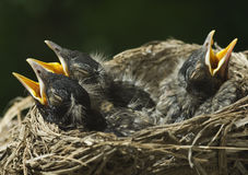 Three Baby Robins In Nest. Three baby Robins in a nest with mouths open and eyes closed, closeup with selective focus, horizontal with copy space Royalty Free Stock Photography