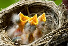 Three Baby Robins in a Nest. Three hungry baby Robins in a nest wanting the mother bird to come and feed them, copy space stock photography