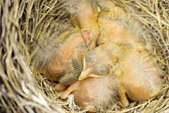 Three baby robins Royalty Free Stock Photography