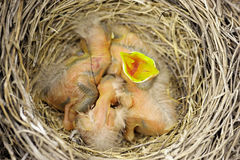 Three baby robins Stock Photos