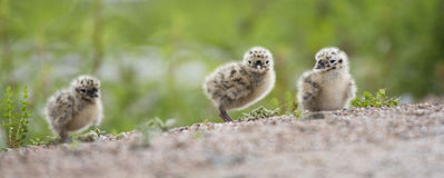 Three baby seagulls. In summer Royalty Free Stock Photo