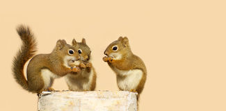 Three baby squirrels sharing. Stock Photo