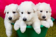 Three baby swiss shepherd sitting Royalty Free Stock Photos