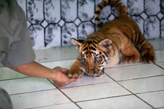 Three baby tiger born in Ragunan Zoo-Jakarta April 10th 2013 Stock Photography