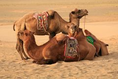 Three Bactian camels in Gobi Desert Royalty Free Stock Photo